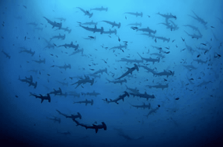 schooling hammerheads in the galapagos best places to scuba dive