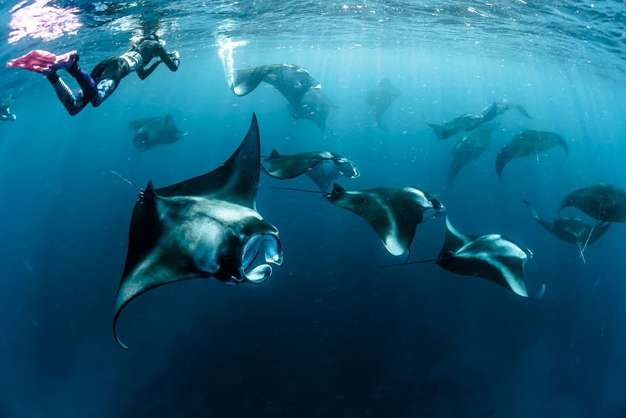 manta rays at socorro islands best places to scuba dive