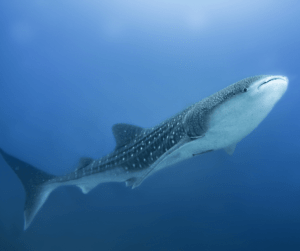dive liveaboard philippines whaleshark