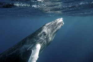 humpback whale underwater