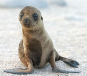 baby sea lion pup