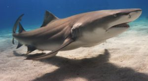 lemon-shark