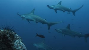 Hammerhead Sharks Scuba Diving In Socorro