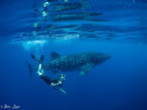 whale-shark-at-isla-mujeres-mexico