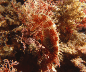 Can you see it yet?! Seahorses are queens of camo. You need eagle eyes to spot them while scuba diving.