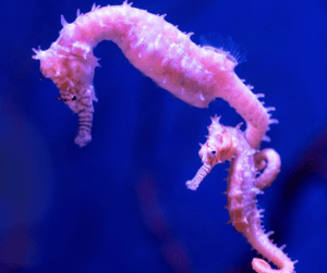 Seahorses use their tails to cling on to seaweed, corals, and eachother!