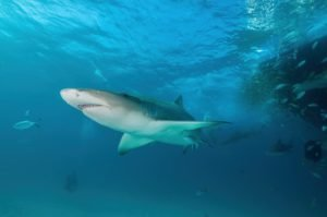 is it safe to dive with sharks in hawaii